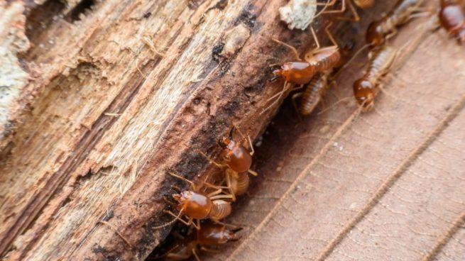Resultado de imagen de termitas
