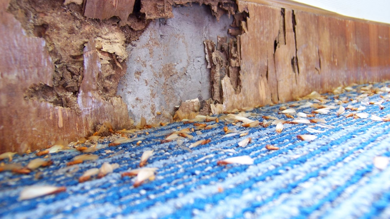 Should You Buy a Home With Termite Damage? | Bankrate
