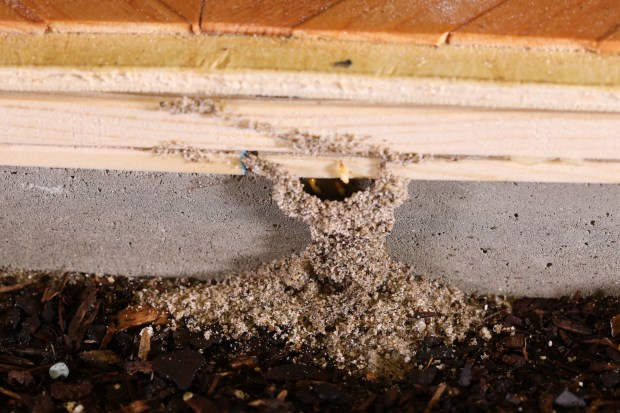 Termite infestations in your home: How to find, treat and prevent them