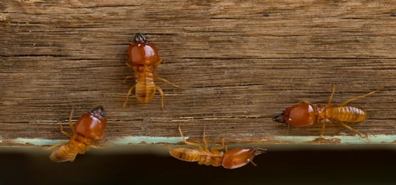 Termitas en casa: Cómo reconocerlas | Rentokil Blog