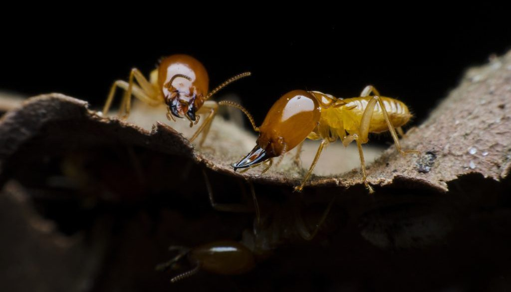 Termites - Action Pest Exterminating | Charlotte Area | Pest ...