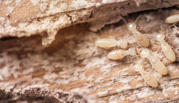 Did You Know Pest Control & Termite Control Are Not the Same? | Pest Control  vs Termite Control