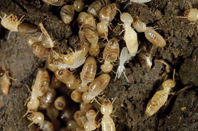 Termita: Hechos, Identificación y Control de las termitas o comején